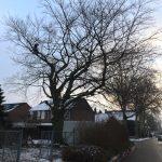 snoeien, achterstallig onderhoudssnoei, peters bomenservice, beek zuid limburg