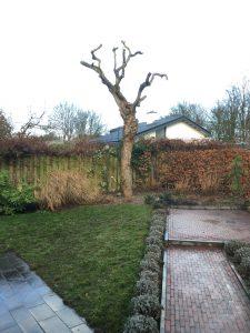 snoeien bomen, na het kandelaberen peters bomenservice, beek, zuid limburg, westelijke mijnstreek, onderhoud,