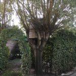 snoeien wilg, knotten, peters bomenservice, beek, zuid limburg, westelijke mijnstreek, onderhoud,