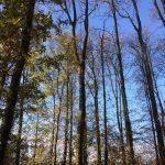 snoeien boom, bomen, vrijuitgroeiende bomen, peters bomenservice, beek, zuid limburg