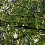 kroonverankering door Petersbomenservice, zuid limburg,